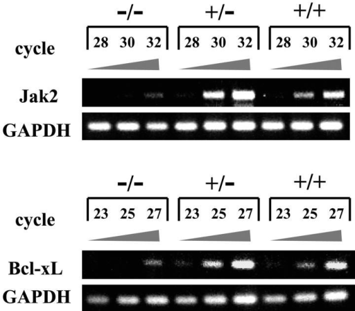 RT-PCR analysis on the expression of Jak2 and Bcl-xL mRNA in Anamorsin−/−, Anamorsin+/−, and Anamorsin+/+ FL cells. Total RNA was isolated from E14.5 Anamorsin−/−, Anamorsin+/−, and Anamorsin+/+ FL cells. 1.5 μg total RNA was reverse transcribed to first strand cDNA and subjected to PCR reactions. After the indicated cycles of PCR reaction, PCR products were electrophoresed on agarose gels and visualized with ethidium bromide staining.