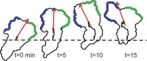 Left and right turns are driven by independent lamellipod extensions (blue and green).MEYER/ELSEVIER