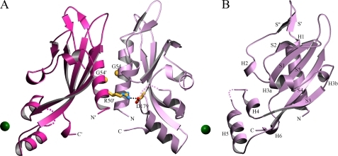 Structure of the wild-type PhoQ 43–190 dimer in complex with nickel. A, the overall structure in complex with nickel is shown as a ribbon diagram. Nickel ions are shown as green spheres. The Arg-50′ → Asp-179 salt bridge is shown with residue side chains depicted in a stick representation (carbon colored yellow, nitrogen colored blue, and oxygen colored red). A line of black dots marks interacting atoms of the salt bridge. The Cα atoms of Gly-54 residues are shown as yellow spheres. Residues are identified by one-letter-code labels. Colored dots are drawn to represent a hypothetical path of the protein backbone through disordered regions corresponding to residues 135 and 136 of molecule A (light purple), and residues 136 and 137 of molecule B (light red). B, the structure of one subunit (molecule A) of the wild-type PhoQ 43–190 dimer is shown from a 90° rotation about the vertical axis of the dimer as shown in A. Secondary structure elements are labeled in black. The diagram was created using MolScript (43).