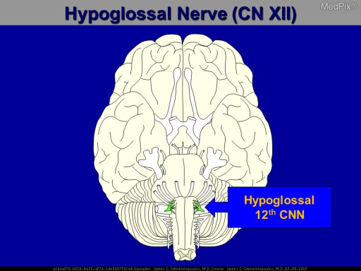 Base view of the brain. The Hypoglossal nerve (CN-12)