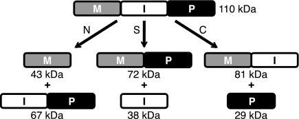 A schematic representation of splicing and off-pathway reactions. The MP-Be DnaB intein (I) was cloned into a model precursor consisting of MBP as the N-extein (M) and a fragment of paramyosin (P) as the C-extein, along with 5 native extein residues flanking each splice site. Protein splicing (S) yields MP and free intein, whereas off-pathway N-terminal splice junction cleavage (N) yields M + IP and off-pathway C-terminal splice junction cleavage (C) yields C-terminal cleavage products (MI + P). Cleavage of the (thio)ester linkage in branched intermediates also yields M + IP. Some mutations result in double cleavage at both splice junctions to yield M + I + P. Molecular weights of MP-Be DnaB intein MIP precursor and products are listed.