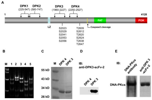 Screening and characterization of positive phage clones of anti-DNA-PKcs segments scFv. (A) Conserved functional domains of DNA-PKcs and the location of segments identified with epitopes predicted in DNA-PKcs. DPK1, DPK2 are located at the N-terminus of DNA-PKcs, and DPK3 and DPK4 are located between the leucine zipper (LZ) and T2609 autophosphorylation cluster. The DPK3 segment includes Ser2056 autophosphorylation cluster. (B) PAGE electrophoresis patterns of the Mva I-digested positive anti-DPK3-scFv clones. (C) Coomassie brilliant blue stained gel of the SDS-PAGE analysis of 10 μg purified DPK3 (~30 kD) and DPK4 (~32 kD) segments. (D) Immunohybridization (western blotting) analysis of purified DPK3 (30 kD) and DPK4 (32 kD) segments using anti-DPK3-scFv-2 antibody. (E) Immunohybridization analysis of DNA-PKcs in HeLa cell protein lysate using anti-DPK3-scFv-2 and anti-DNA-PKcs antibodies.