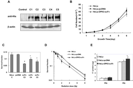 Effect of anti-DPK3-scFv on cellular survival. (A) Immunohybridization analysis of anti-DPK3-scFv expression in HeLa cell clones (C1 - C5) stably transfected with His-anti-DPK3-scFv-2 using an anti-His antibody. (B) Growth rates for HeLa, HeLa-pcDNA and DPK3-scFv-2-transfected HeLa cells (HeLa-DPK3-scFv) under normal growing condition. (C) Clonogenic assays of cells survivals for HeLa, HeLa-pcDNA and the clones (scFv-C3, C4, C5) of DPK3-scFv-2-transfected HeLa cells after 4 Gy γ-ray irradiation. * P < 0.05, #P < 0.01 as compared with control HeLa-pcDNA cells. (D) Cell survival curves of HeLa, HeLa-pcDNA and HeLa-DPK3-scFv cells (clone 2) post-irradiation. (E) Caspase-3 activity assays of HeLa, HeLa-pcDNA and HeLa-DPK3-scFv cells post-4 Gy irradiation. * P < 0.05 as compared with control HeLa or HeLa-pcDNA cells.