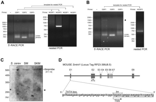 Identification of the transcription start site of Smtnl1 by rapid amplification of cDNA 5'-ends (5'-RACE) and ribonuclease protection assay (RPA). 5'-RACE reactions were performed on cDNA synthesized from smooth (A) or skeletal (B) muscle mRNA with primers specific for Smtnl1. Representative ethidium bromide-stained agarose gels of PCR products are shown. A 5'-RACE CDS primer (Stratagene) and three Smtnl1 gene specific primers (GSPs) were used with expected product sizes: GSP1 (1479 bp), GSP2 (176 bp) and GSP3 (83 bp). The 5'-RACE product from each reaction was used as template in a subsequent nested PCR reaction. The expected sizes of the nested PCR products were: NGSP1 (63 bp) and NGSP2 (823 bp). The arrowhead in (B) indicates the PCR product visible during the primary amplification when skeletal muscle cDNA was used as template for 5'-RACE with GSP1. The DNA ladder markers are indicated on the left. In (C), ribonuclease protection assay (RPA) analysis was performed on 10 μg of total RNA from smooth (SM) and skeletal (SKM) muscle. A biotin-labeled Smtnl1 riboprobe was generated to span -112 bp to the TSS, joined to exon 1 and exon 2 from the Smtnl1 mRNA, up to + 319 bp. Total RNA from S. cerevisiae (10 μg) was used instead of muscle RNA as a negative control. The band appearing with skeletal muscle mRNA is marked by an arrow. The DNA ladder markers are indicated on the left. In (D), the promoter region, eight exons (E1-E8) and 7 intronic DNA sections are shown for the mouse Smtnl1 gene. The positions of the start codon (ATG), transcriptional start site (TSS) defined by 5'-RACE, the TATA box and initiator sequence (Inr) are also indicated. The nucleotides identified by sequencing the cDNA clones (n = 5) obtained from 5'-RACE are underlined.