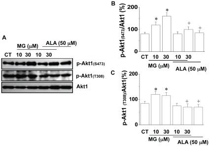 Effect of MG on Akt1 phosphorylation in 3T3-L1 cells.After 24 h treatment with or without MG (10 µM) in the presence or absence of SH-6 (10 µM)/alagebrium (50 µM), the protein levels of Akt1, (A), Representive Western blot of phospho-Akt1 (p-Akt1(Ser473), p-Akt1(thr308)) and Akt1; (B), The level of phospho-Akt1(Ser473) in 3T3-L1 cells with/without MG treatment; (C ), The level of phospho-Akt1(thr308) in 3T3-L1 cells with/without MG treatment. *P<0.05 vs control (CT) cells; +P<0.05 vs MG treated cells. The results were based on data from three experiments. CT: control; ALA: alagebrium.
