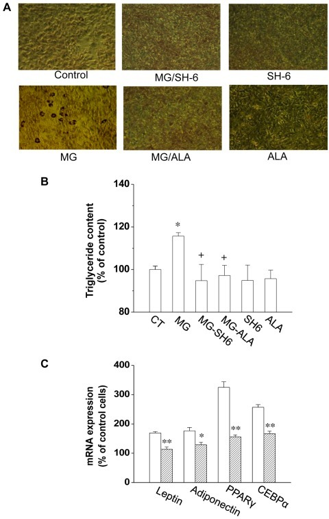 MG induced adipogenesis in 3T3-L1 adipocytes.After treated with MG, SH-6 or alagebrium for 48 h, cells were cultured till confluence and differentiation. The Oil Red O staining in adipocytes was shown in (A). The lipid content in adipocytes from different groups was quantified and presented as the percentage of that from control cells (B). The mRNA expression of adiponectin, PPARγ, C/EBPα and leptin in differentiated cells treated with MG alone or with MG and alagebrium were determined by real-time PCR (C). *P<0.05; **P<0.01; n = 3 in each groups. The open square in Figure 6C represents cells treated with MG; the stripped square represents cells treated with MG alagebrium. CT: control; ALA: alagebrium.