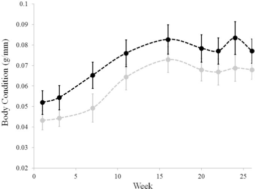 Body condition does not differ between frogs infected with different strains of Bd.SRS810 infected individuals: grey. JEL423 infected individuals: black. Body condition was measured mass (g) divided by SVL (mm). Week indicates the number of weeks after last inoculation. Error bars are ± one standard error of the mean.