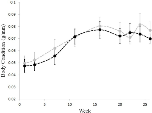Body condition does not differ between frogs that cleared infection and those that maintained it.Infected individuals: black. Individuals that cleared their infection: grey. Body condition was measured as mass (g) divided by SVL (mm). Week indicates the number of weeks after last inoculation. Error bars are ± one standard error of the mean.