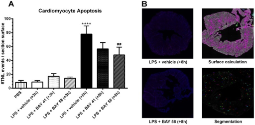 Cardiomyocyte apoptosis.(A) The number of apoptotic cells per heart section were counted and normalized over the total surface area of the tissue section, 2 h post-treatment (n = 3). (B) Representative example of whole heart section for late (+8 h) vehicle control (top-left), and late (+8 h) BAY 58-2667 treatment (bottom-left). Representative example of data processing in BD Attovision software: calculation of total surface area (top-right) and detection of TUNEL events (bottom-right). Data are means ± SEM and comparisons were made between baseline (PBS) and LPS-challenged vehicle control animals (*), and LPS-challenged vehicle control and treatment groups (#) via one-way ANOVA with Fisher's LSD test. ***, p≤0.001; **, p≤0.01 and *, p≤0.05.