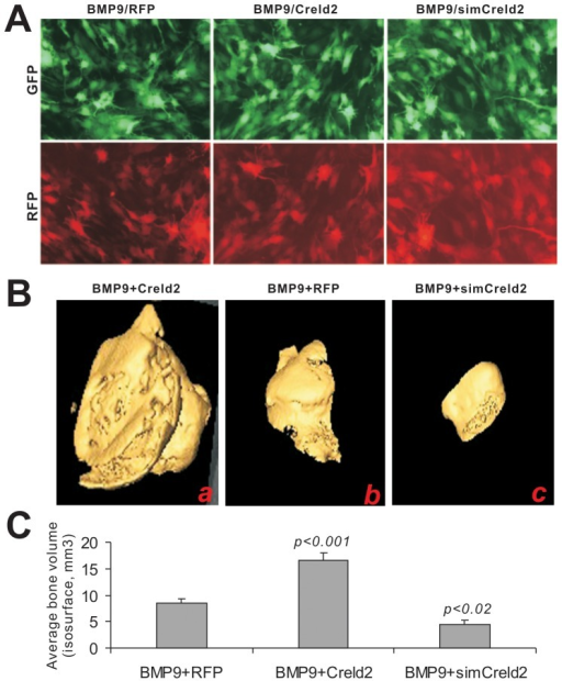 Exogenous Creld2 enhances, while silencing Creld2 inhibits BMP9-induced ectopic bone formation.C3H10T1/2 cells were co-transduced with BMP9, RFP, Creld2 and/or simCreld2 adenoviruses for 16 h (A) and collected for subcutaneous injections into the flanks of athymic nude mice. Bony masses were collected at 4 weeks and subjected to microCT analysis to determine the 3-dimensional iso-surface (B) and the mean mineralization density (C). No masses were detected in the subcutaneous injections, in which the implanted cells were transduced with RFP, Creld2, or simCreld2 without BMP9. The p-values were calculated by comparing the results from BMP9/Creld2 or BMP9/simCreld2 group with that the BMP9/RFP's. Representative images are shown.