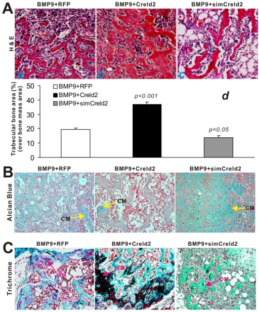 Creld2 potentiates BMP9-induced terminal osteogenic differentiation and matrix mineralization.The retrieved samples were fixed, decalcified, paraffin-embedded, and subjected to histologic analysis. (A) H & E staining. Sections from the retrieved samples of BMP9/RFP (a), BMP9/Creld2 (b), and BMP9/simCreld2 (c) were subjected to H & E staining. The trabecular structures, including % of trabecular area of the total area (d), were quantitatively analyzed using the ImageJ software. The p-values were calculated by comparing the results from BMP9/Creld2 or BMP9/simCreld2 group with that the BMP9/RFP's. (B) Alcian blue staining. CM, cartilage matrix. (C) Masson's Trichrome staining. MM, mineralized matrix; OM, osteoid matrix. Magnification, 200×. Representative results are shown.