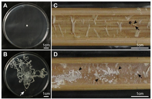 Effects of Doubledaya bucculenta larvae on the dispersal of Wickerhamomyces anomalus yeast cells.(A) A W. anomalus colony formed by the cells that were inoculated in the center of a potato dextrose agar (PDA) plate in the absence of a D. bucculenta larva. (B) W. anomalus colonies formed by the cells that were inoculated in the center of a PDA plate in the presence of a D. bucculenta larva. (C) No W. anomalus colony formation on an autoclaved Pleioblastus simonii internode strip where a yeast-inoculated dead egg of D. bucculenta was placed. (D) W. anomalus colonies formed on an autoclaved P. simonii internode strip where a yeast-inoculated living egg of D. bucculenta was placed. PDA Plates and internode strips were photographed three and four days after the incubation at 25 °C, respectively. White and black arrows indicate a first instar larva of D. bucculenta and a place where a yeast-inoculated egg of D. bucculenta was placed, respectively. Arrowheads indicate the yeast colonies. Abbreviation: e, egg.
