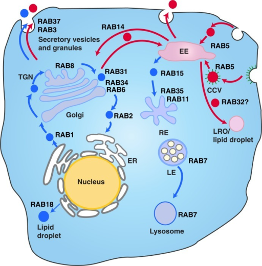 The different vesicle transport pathways and the functions of Rab GTPases identified from the hUCBMSC MVs. Rab proteins found in MVstim were related to deeper endosomal route (blue), whereas MVcrtl contained Rab proteins from the rapid loop located near the plasma membrane (red). RAB1, which is localized at the endoplasmic reticulum (ER), mediates ER–Golgi trafficking together with RAB2, which might also regulate Golgi–ER trafficking. The Golgi-localized RAB6 and RAB34 mediate intra-Golgi trafficking. RAB8 mediates constitutive biosynthetic trafficking from the trans-Golgi network (TGN) to the plasma membrane. RAB3, and RAB37 regulate the secretory pathway. RAB32 is involved in the biogenesis of melanosomes and other lysosome-related organelles (LRO) as well as the formation of lipid droplets from the early endosome (EE). RAB18 controls the formation of lipid droplets from the ER. RAB5 mediates endocytosis and endosome fusion of clathrin-coated vesicles (CCVs). RAB11 and RAB35 mediate slow endocytic recycling through recycling endosomes, (RE). RAB15 is involved in the trafficking from early endosomes (EE) to recycling endosomes. The late endosome-associated RAB7 mediates the maturation of late endosomes (LE) and their fusion with lysosomes. See Refs. (75, 79–81) for further information.