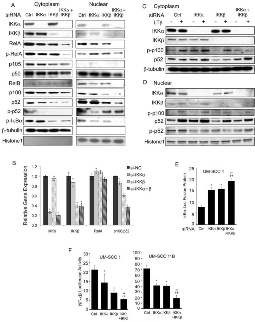 A combinatory effect of dual IKKα and IKKβ knockdown by siRNA in blocking NF-κB signaling molecule expression and reporter activityA, Knockdown efficiency of IKKα and IKKβ individually or in combination, and effects on downstream NF-κB subunits RelA, p-RelA (ser536), p105, p50, RelB, p100, p52, p-p52 and p-IκBα (ser32/36) after knockdown for 48 hours and treatment with TNF-α for 1 hour. β-tubulin and Histone1 served as loading and fractionation controls. B, Knockdown of IKKs affected mRNA expression of NF-κB p100/p52 subunits. UM-SCC1 cells were transfected with siRNA of IKKs under the same experimental condition as shown above, and RNAs were harvested and relative fold-change in mRNA expression was measured via quantitative RT-PCR. Starred (*) values indicate a p-value<0.05 by t-test vs. negative control. p-p100 and p52 subunits in cytoplasmic (C) or nuclear (D) fraction were tested after IKK knockdown for 44 hours and treatment with lymphotoxin beta (α1/β2; 100ng/ml) for 4 hours. E, Greater IκBα luciferase fusion protein was observed in the double IKK knockdown than individual knockdowns. F, Conversely, the greater combinatory inhibitory effect of NF-κB reporter activity was observed in the IKK double knockdown over the single knockdowns in UM-SCC1 (left), UM-SCC11B (right), and UM-SCC6 (data not shown). Statistical significance of t-test, * single knockdowns compared to negative control: p<0.01; ** double knockdowns compared to negative control: p<0.001; ++ dual knockdowns compared to single knockdowns: p<0.001.
