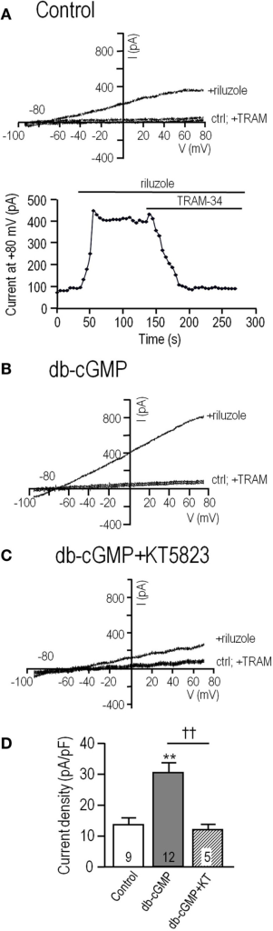 "The endogenous KCa3.1 current in MLS-9 microglial cells is increased by cGMP, which requires cGMP-protein kinase. For all traces, the voltage protocol was a holding potential of –70 mV, and repeated ramps from –100 to +80 mV. Recordings were conducted at room temperature in the perforated-patch configuration, and riluzole was used simply to activate the KCa3.1 current at the normal low intracellular Ca2+ concentration. The bath always contained 100 nM apamin, a KCa2.1–2.3 channel blocker. (A)Upper: Representative current traces from a control cell (trace marked ""ctrl""), followed by bath addition of 300 μM riluzole, and then 1 μM of the selective KCa3.1 blocker, TRAM-34. Lower: The time course of current activation and block by 1 μM TRAM-34. (B,C) Representative current traces from cells before and after activating the current with riluzole; with or without 1 μM TRAM-34. Cells were pre-treated with the membrane-permeant cGMP analog, db-cGMP (100 μM), for 20 min at room temperature, without (B) or with (C) 1 μM KT5823, a selective inhibitor of cGMP-protein kinase (PKG). (D) Summarized data from a population study using the treatments in panels A–C. For each cell, the KCa3.1 current amplitude was measured at +80 mV, as the component of the riluzole-activated current that was blocked by TRAM-34 (1 μM). The current was always normalized to the cell capacitance (in pF) to account for any differences in cell size and expressed as current density. The TRAM-34-sensitive KCa3.1 current is expressed as mean ± SEM for the number of cells indicated on each bar, and data were compared using one-way ANOVA, with Tukey's post hoc test. **p < 0.01, indicates a difference from both controls and KT5823-treated cells. ††p < 0.01, for the comparison indicated. There was no difference between the control and KT5823-treated cells."