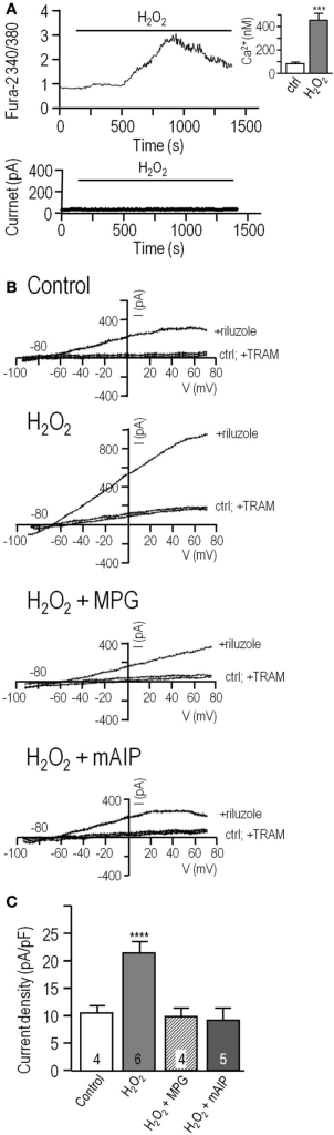 Direct application of H2O2 increases the KCa3.1 current through a CaMKII-mediated pathway. (A) Hydrogen peroxide elevates intracellular Ca2+ but does not directly activate KCa3.1 current in MLS-9 cells. Upper panel: Representative Fura-2 recording, in which 1 mM H2O2 was bath applied during the period marked by the horizontal bar. The inset shows calibrated free intracellular Ca2+ concentration as mean ± SEM, n = 18 cells (***p < 0.001, Student's t-test). Lower panel: Representative current in a perforated-patch recording (same solutions and voltage protocols as Figure 1) with 1 mM H2O2 bath applied as indicated. (B) Representative KCa3.1 current traces in perforated-patch recordings, representative currents before and after adding 300 μM riluzole, with or without 1 μM TRAM-34. From top to bottom: control cell, cell pre-treated with 1 mM H2O2 for 10 min at room temperature, cell pre-treated with both 1 mM H2O2 and the ROS scavenger, MPG (500 μM; 10 min, room temperature), cell pre-treated with 1 mM H2O2, and the CaMKII inhibitor, mAIP (1 μM; 10 min, room temperature). (C) Summarized data from a population study with treatments as in panel (B). The TRAM-34-sensitive KCa3.1 current is expressed as mean ± SEM for the number of cells indicated on each bar and was compared using a one-way ANOVA with Tukey's post hoc test; ****p < 0.0001.