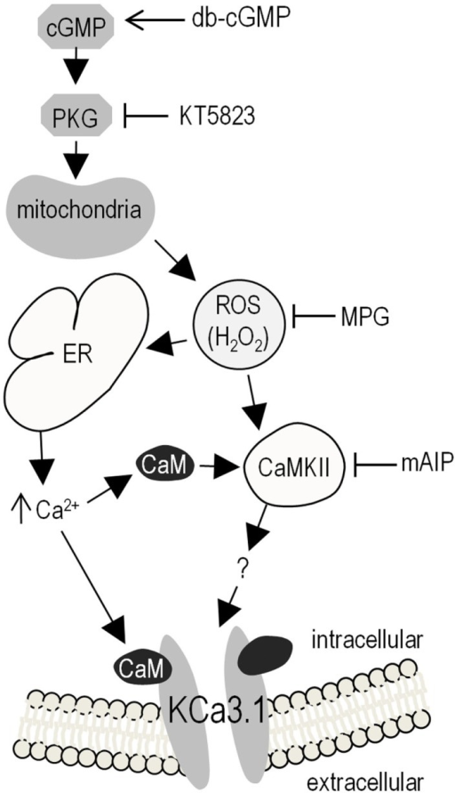 "Summary of results and proposed model of KCa3.1 regulation in microglia. Elevating intracellular cGMP activates PKG, which can then phosphorylate numerous downstream cellular targets, one of which triggers mitochondrial production of ROS (proposed to be via the ""5-hydroxydecanoate-sensitive factor"" that is likely the mitoKATP channel). Intracellular ROS can then contributes to KCa3.1 regulation through its role as a signaling intermediate; e.g., by evoking Ca2+ release from intracellular stores on the ER, leading to CaM-dependent activation of CaMKII, which then increases KCa3.1 activity (by an unknown mechanism). Activator used: 100 μM db-cGMP (membrane-permeant cGMP analog) to activate PKG. Inhibitors used: 1 μM KT5823 for PKG; 500 μM MPG as a general ROS scavenger (including O2–, H2O2, OH∙); 1 μM mAIP for CaMKII. Acronyms: CaMKII, Ca2+/CaM-dependent protein kinase II; cGMP, cyclic guanosine monophosphate; db-cGMP, dibutyryl-cyclic guanosine monophosphate; ER, endoplasmic reticulum; H2O2, hydrogen peroxide; mAIP, myristolated autocamtide-2 related inhibitory peptide; mitoKATP, mitochondrial ATP-sensitive potassium channel; MPG, N-(2-mercaptopropionyl)glycine; O2–, superoxide; OH∙, hydroxyl radical; PKG, cGMP-dependent protein kinase; ROS, reactive oxygen species."