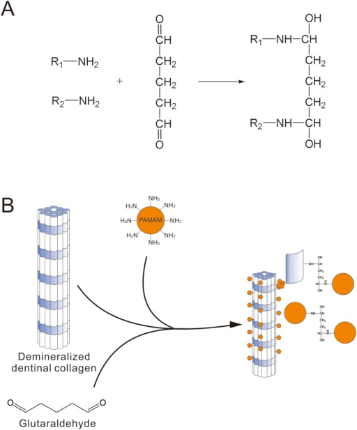 Mechanism of glutaraldehyde crosslinking.(A) Chemical reaction equation. (B) Schema chart that reveals the process of PAMAM dendrimers crosslinked to demineralized dentinal collagen by using glutaraldehyde.