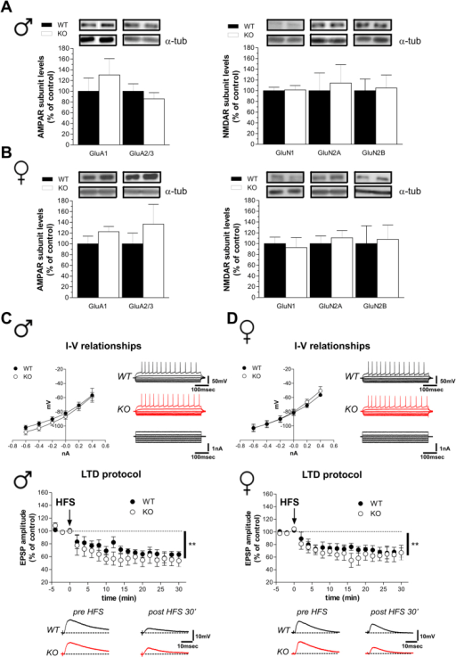 Intrinsic membrane properties and long-term depression in Rhes mutant mice.(A,B) Western blotting analysis on the striatal glutamate AMPAR and NMDAR subunit levels in male (A) (n = 6/genotype per GluA1, GluA2/3, GluN1, GluN2B; n = 5 WT, 6 KO per GluN2A), and female (B) (n = 6/genotype per GluA1, GluA2/3, GluN2A; n = 4 WT, 5 KO per GluN1; n = 6 WT, 5 KO per GluN2B) mice. The top panels show representative blots comparing the different genotypes, for each protein detected. All data are expressed as mean ± SEM. Genotypes are as indicated. (C,D) Current-voltage graphs (left) and representative traces (right) obtained after applying hyperpolarizing and depolarizing steps of current to MSNs recorded from WT (n = 6 males, n = 7 females) and KO (n = 10 per gender) mice. Time-courses (top) and example traces (bottom) of the post-synaptic responses measured in MSNs recorded from slices of male KO (n = 6) and WT (n = 5) mice (left panel) and female KO (n = 4) and WT (n = 5) mice (right panel), showing no difference in high-frequency stimulation (HFS)-induced LTD (Student's t-test, pre- vs. 30 min post-HFS, **p < 0.01).