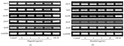 RT-PCR analysis of the level of mecA, mecI, mecR1, femA, and femB mRNA in MRSA (ATCC 33591) strain treated with the indicated concentrations of the magnolol (a) and honokiol (b). GAPDH was employed as an internal control and oxacillin 50 μg/mL (OX 50) was used in this study. MRSA strain was grown in tryptic soy broth for 24 hr at 34°C.