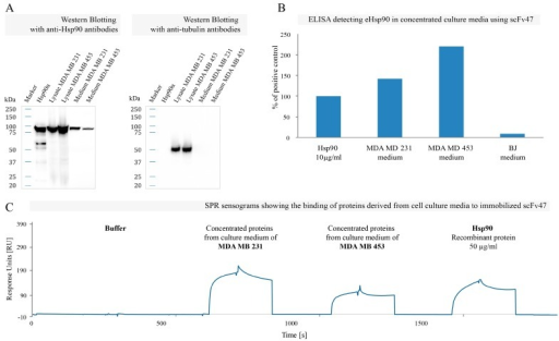 Interaction of scFv47 with eHsp90: (A) Western blot analysis of concentrated serum-free media derived from MDA MB 231 and MDA MB 453 cell cultures using specific anti-Hsp90 antibodies. Cell lysates containing cytoplasmic Hsp90 and recombinant Hsp90α served as positive controls; (B) The representative ELISA using scFv47 to detect eHsp90 in concentrated culture media derived from MDA MB 231, MDA MB 453 and BJ cells. The plate was coated with scFv47 and cell medium was applied. Detection of bound Hsp90 was performed using commercially available mouse anti-Hsp90 followed by anti-mouse-HRP antibody. Absorbance value from the controls with no antigen was subtracted from the obtained results, which were subsequently normalized as a fraction of absorbance from the wells where 10 µg/mL of recombinant Hsp90α was loaded (positive control); (C) The SPR sensograms showing the binding of Hsp90α to immobilized scFv47. After 38 hours of culturing MDA MB 231 and MDA MB 453 cells (in serum-free DMEM) media were collected, concentrated 100 times, buffer exchanged and injected on a sensor chip coated with ca. 1500 RU scFv47. Fifty micrograms per milliliters of the recombinant Hsp90α was injected as a positive control.