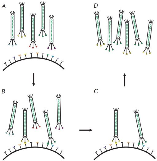 Schematic representation of a typical biopanning of a phage library. A,B – incubation of a combinatorial phage library with a target;C – washing-off of the unbound phages; D– elution of bound phages and their amplification for the nextrounds