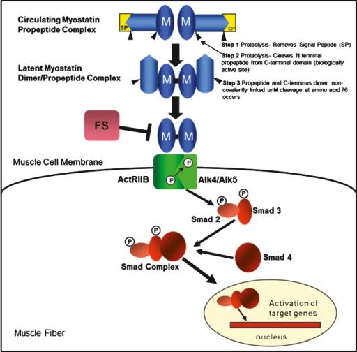 The myostatin pathway and myostatin-binding proteins. M ...