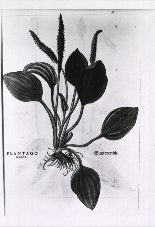 <p>Plantago major - Bieht (?) wegrich (Arnoglosson or broad-leaved plantain).</p>