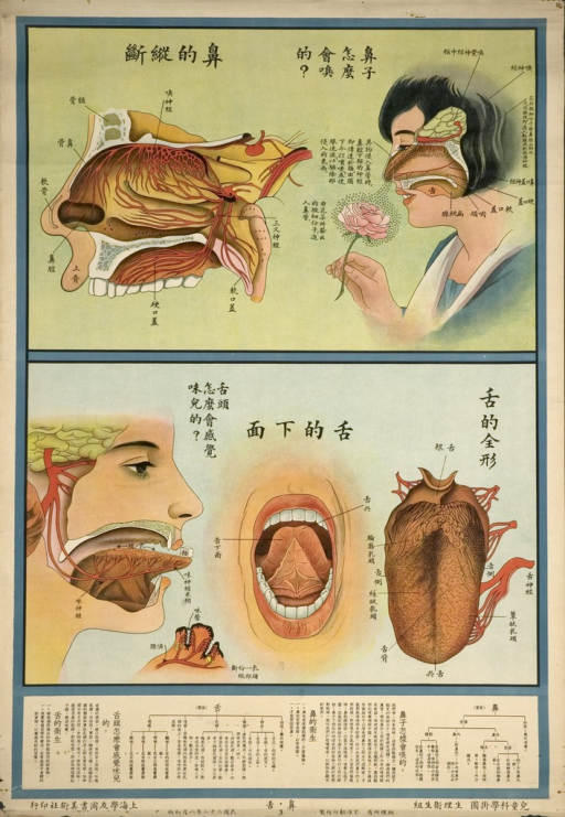 <p>The poster consists of 2 images.  The top image shows the anatomy of the nose; the bottom image shows the anatomy of the tongue.  The very bottom part of the poster has texts explaining the nose and tongue.</p>