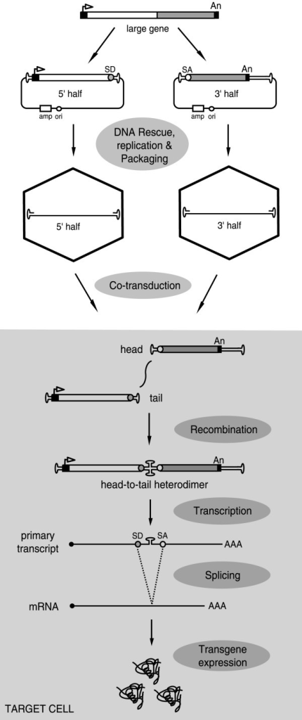 Diagram of the recombinant AAV split gene principle. An expression unit corresponding to a large gene is roughly divided in two halves. One of them consists of a promoter (solid box with arrowhead), the 5' half of the gene (open box) and a splice donor site (SD) while the other encodes a splice acceptor sequence (SA), the 3' portion of the gene (shaded box) and a polyadenylation signal (solid box). These fragments are independently cloned between two AAV ITRs. Vector stocks are then generated from the resulting shuttle plasmids and are used to co-transduce target cells. Head-to-tail heterodimerization via intermolecular recombination between the two vector DNA molecules restores the full-length expression unit and results in the synthesis of the desired protein after the splicing of the intervening AAV ITR sequences from the primary transcript.