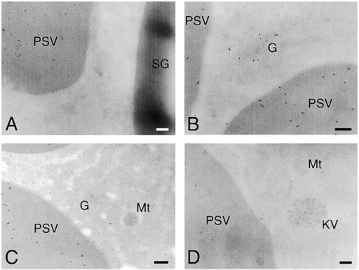 Electron micrographs showing the immunogold localization of α-amylase in attached cotyledons cells (A–E), detached cotyledons cells (F), or control for immunogold labeling (G). (A) Anti–α-amylase antibody immunogold-stained PSV, but not SG. (B and C) Golgi complex and PSVs were both immunogold-labeled with anti– α-amylase antibody. (D) Immunogold localization of α-amylase (15-nm particles) and SH-EP (10-nm particles). α-Amylase and SH-EP were localized in PSVs and KVs, respectively. (E) Gold particles from anti–α-amylase antibody were detected in LVs as well as PSVs. (F) PSVs in detached cotyledons were immunogold labeled with anti– α-amylase antibody. (G) Immunogold staining of detached cotyledon cells without first antibody (anti–α-amylase antibody). No gold particles were observed in the cell. CW, cell wall; G, Golgi complex; KV, KDEL-tailed cysteine proteinase-accumulating vesicle; LV, lytic vacuole; Mt, mitochondrion; PSV, protein storage vacuole; SG, starch granule. Bars, 200 nm.