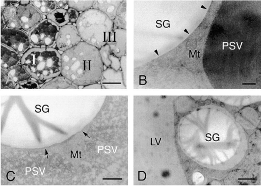 Electron micrographs showing ultrastructures of cotyledon cells of germinated V. mungo seeds (A–G), immunogold localization of α-amylase in cotyledon cells (H), and ultrastructure of cells of detached cotyledons (I). Toluidine blue (TB) staining of sections from cotyledons of day 3 V. mungo seedlings. Conversion from TB-stained cells (region I) to TB-stainless cells (region III) was accompanied with that of the PSV to LV. (B) SGs and PSVs in TB-stained cells (A, region I). The PSV was filled with storage proteins. Arrowheads indicate border between SGs and the cytoplasm. (C) SGs and PSVs in cotyledons at region II in A. Electron density of PSVs became low. SGs were surrounded with membranous structure (arrows). LED areas were found between SGs and the cytoplasm. (D) SG and LV in TB-stainless cells (region III in A). The PSV was converted to the LV in the cells. The areas around SG with LED were enlarged. (E) Ultrastructure of TB- stainless cells. SGs wrapped with a LED area contacted with LVs (arrowheads). Vesicles with similar density to LVs were observed. (F) LED membranes around the SGs fused with the LV membranes (arrow). (G) SGs were observed in LVs. The shape of SGs were largely different from those in B–E. (H) An Immunogold image representing degradation of SGs by α-amylase localized in LVs. Gold particles from anti–α-amylase antibody were densely detected in the peripheral region of SGs, which is inserted into the inside of the LV. (I) PSVs were not converted to LVs, and SGs were not taken up into PSVs in the cells of detached cotyledons. Neither low density areas around SGs nor vesicles with similar density to LV was observed in the cells. LV, lytic vacuole; Mt, mitochondrion; PSV, protein storage vacuole; SG, starch granule. Bars: (A) 50 μm; (E and G) 2 μm; (D, F, and I) 1 μm; (B, C, and H) 200 nm.