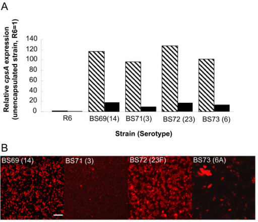 Capsule expression during biofilm growth conditions in selected strains. Fig. 5A. cpsA, the first gene in the pneumococcal capsule operon is expressed in each isolate over 100-fold relative to R6, an unencapsulated strain (hatched bars), but is downregulated when pneumococcal strains are grown as biofilms (solid bars). Fig. 5B. Immunostaining with anti-capsule specific antibody labeled with a secondary Texas red anti-rabbit antibody, shows that pneumococci express type specific capsule in the biofilm despite cpsA downregulation. Scale bar = 10 μm.