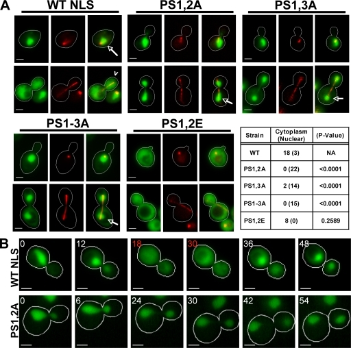 Phosphorylation sites within Cdc14's NLS are required for its cell cycle regulation. (A) Mutation of Dbf2–Mob1 phosphorylation sites in NLS changes the nuclear/cytoplasmic distribution of NLS-GFP (green) reporter fusions. Wild-type (WT), PS1,2A, PS1,3A, PS1–3A, and PS1,2E NLS-GFP reporters are shown. Red fluorescent mCherry-Tub1 (red; γ adjusted) was used to identify interphase (short spindle) and late anaphase (long spindle) cells. The indicated NLS constructs were transiently expressed (3% galactose for 90 min) from the GAL1,10 promoter. Live cells were imaged. Wild-type NLS-GFP was concentrated in the nucleus of interphase cells (short spindle; arrows) and dispersed into the cytoplasm of late anaphase cells (long spindle; carrot). NLS-GFP alleles PS1,2A, PS1,3A, and PS1–3A do not exhibit cytoplasmic release of the reporter. In the table, the first column shows genotypes, the second column shows the number of cells for which the spindle was >5 µm long and the GFP signal was dispersed into the cytoplasm or concentrated in the nucleus, and the third column shows the statistical significance of the deviation from wild type (χ2 test). In contrast to the nonphosphorylatable mutants, PS1,2E, a putative phosphomimetic mutant, is defective for nuclear accumulation. The residues that comprise PS1–3 are specified in Fig. 3 B. (B) The PS mutant NLS-GFP is not released from the nucleus during late mitosis. Time-lapse microscopy was performed as described in Fig. 2 B. Representative time-lapse series are shown for wild-type and PS1,2A reporters. The wild-type NLS-GFP fusion was dispersed throughout the cell for approximately two time points (indicated by red numbers; n = 5). In contrast, mutant PS1,2A reporters did not redistribute to the cytoplasm for the duration of the time course (n = 5). Bars, 2 µm.
