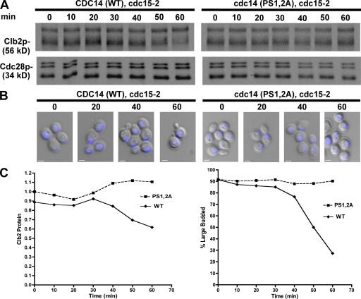 Phosphorylation sites within NLS are required for efficient release from a late mitotic block. (A) Mutation of NLS phosphorylation sites impaired mitotic exit after reversal of cell cycle arrest. CDC14 and cdc14-(PS1,2A) cultures were placed at 37°C for 2 h to achieve a late mitotic cdc15-2 arrest and returned to permissive temperature (25°C). Clb2p and Cdc28 levels were followed by immunoblot analysis. (B) Cell aliquots from A were stained with DAPI and evaluated by fluorescence microscopy. Combined DIC and DAPI fluorescence images are shown. (C, left) Clb2 protein detected in A was quantified and normalized to Cdc28 levels. Relative units of fluorescence intensity were plotted for each time point. (right) The frequency of large-budded cells (n > 200) with segregated nuclei (B) was plotted for each time point. WT, wild type. Bars, 2 µm.