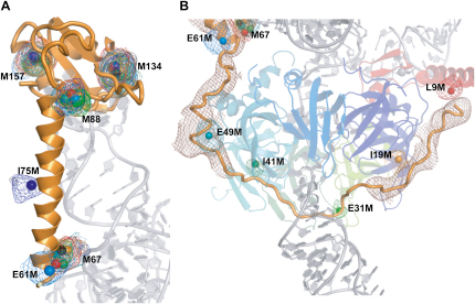 Overlay of Selenium Peaks from Multiple Crystals Containing U1-70K SeMet Mutant Protein(A) U1-70K residues 61–180 are shown as orange cartoon, with part of U1 snRNA, including SL1, shown in light gray. The selenium peak coordinates from anomalous maps of the eight U1-70K mutants are marked by colored spheres. The selenium anomalous maps are shown, all contoured at 3.5 σ and colored to match the spheres. Sphere diameter is ∼2 Å. As well as the four natural methionines (67, 88, 134, and 157), which have corresponding peaks in all the mutants, two of the mutant site peaks (E61M and I75M) are also shown. The colors are: wild-type, black; L9M, red; I19M, orange; E31M, light green; I41M, dark green; I49M, cyan; E61M, blue; I75M, dark blue.(B) The path of the extended N terminus of U1-70K. Electron density attributed to U1-70K is shown in brown and contoured at 1 σ. Where density is absent, approximately between residues 24 and 45, a plausible path for the peptide is indicated based on the selenium positions of E31M and I41M. Selenium peaks and anomalous maps are as for (A). Near the selenium site of L9M, U1-70K is seen to interact with U1-C, which is red.