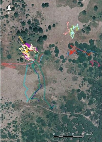 Examples of animal paths.A close-up of the study site (cf. Figure 1) shows the movement of animals in groups of different size. On the left we observed (17 June 1992, from 6:02 to 8:11) a group of seven adult females moving very sinuously and a single deer (light blue) which leaves the group and moves alone southward in a more linear pattern, albeit it stops to forage in several locations. A group composed by an adult female with its fawn (violet and green, respectively) moved on the 26 June 1992 (6:31–7:26) from the road on the south and reached the bushy area at the centre for then returning back using a different path across the pasture. In the upper zone we may observe a single animal (pink, yearling male, observed on the 29 June 1992, 19:01–20:53), moving in the same area of a group of two deer (light green and light blue, an adult female with its fawn, on the 9 September 1992, 17:05–19:33) which exhibit sinuous paths. Two adult females (blue and red) were observed on the 3 May 1992 (5:36–7:55) moving from the central forested zone to the western border. Two other adult females (blue and orange) moved eastward in the bushy area on the 31 July 1992 (18:58–20:04). A solitary female (red) moved on the 18 June 1992 (6:50–7:26) near the eastern border of the study zone.