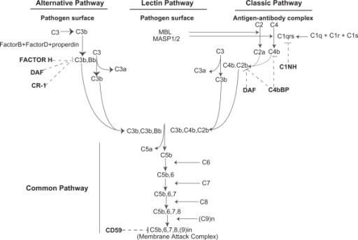 Activation pathways of the complement system and complement regulatory proteins. Three pathways of activation of the complement system (the classical, alternative and lectin pathways), their convergence on a common pathway, and the components of each pathway are depicted. The effect of different complement regulatory proteins is shown as dashed lines.Abbreviations: MBL, mannan-binding lectin; MASP1/2, MBL-associated serine protease 1 and 2; C1INH, C1 inhibitor; C4bBP, C4b binding protein, DAF, decay accelerating factor, CR-1, complement receptor 1.