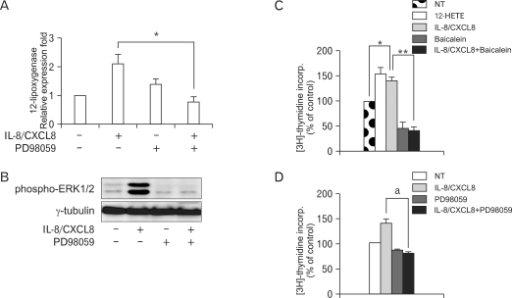 Expression of IL-8/CXCL8-induced 12-LO is mediated through the ERK pathway, and proliferation of SHR VSMC by IL-8/CXCL8 is inhibited by baicalein and PD98059. (A, B) VSMC were untreated (NT) or pretreated with PD98059 (ERK inhibitor, 10 µM) for 30 min. Cells were left untreated or treated with IL-8/CXCL8 (100 ng/ml) for 2 h, and the total RNA and cell lysates were isolated. The total RNA was analyzed by real-time PCR (A), and cell lysates were separated on 10% SDS-polyacrylamide gels and then immunoblotted with the phospho-ERK1/2 antibody (B). Bars represent means±SD from three independent experiments. *p<0.05 vs. VSMC treated with IL-8/CXCL8. Data shown are representative of three independent experiments. (C, D) SHR VSMC were treated with 12-HETE (500 nmol/L), with IL-8/CXCL8 (100 ng/ml), with baicalein (12-LO inhibitor, 10 µmol/L, B), or with PD98059 (10 µmol/L, C) for 48 h in medium containing [3H]-thymidine (1 µCi/ml). [3H]-thymidine incorporation is shown on the Y-axis. Bars represent means±SD from three independent experiments run in triplicate. *p<0.05 vs. untreated VSMC. **p<0.01 vs. VSMC treated with IL-8/CXCL8 alone. a: p<0.05 vs. VSMC treated with IL-8/CXCL8 alone.