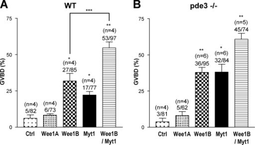 Effect of down-regulation of Wee1 kinases on mouse oocyte meiotic arrest. (A and B) WT (A) or pde3a−/− (B) oocytes were injected with MO corresponding to Wee1A, Wee1B, or Myt1. Scrambled MO (Ctrl) was used as a negative control. Error bars indicate SEM. Numbers above the bars indicate the number of oocytes in the GVBD stage and number of total oocytes, respectively, as well as the number of experiments performed. *, P < 0.005; and **, P < 0.0001 compared with control. ***, P = 0.0192.
