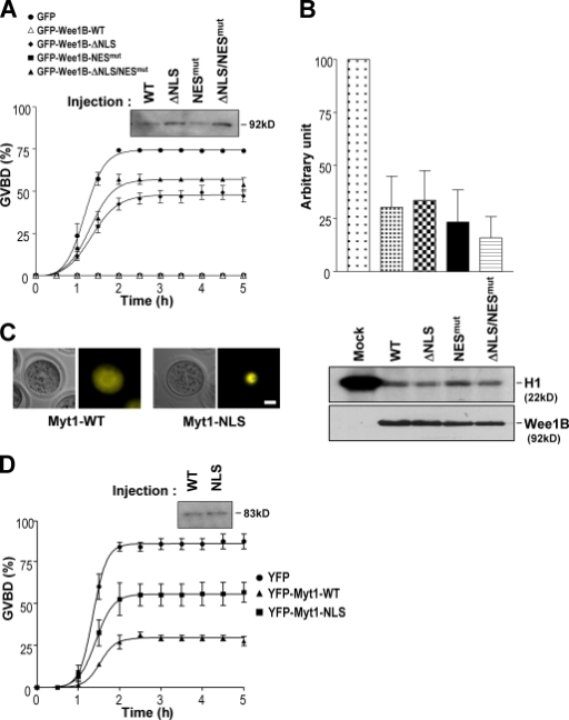 Localization and function of Wee1 kinases in meiotic arrest. (A and D) Oocytes were injected with the indicated Wee1B (A) or Myt1 (D) mRNAs, washed out of the inhibitor, and monitored for the absence of a GV (GVBD). These experiments were repeated three times, and the error bars indicate SEM. The expression levels of injected mRNAs were compared by immunoblotting with the GFP antibody. (B) The activity of Wee1B-targeting mutants was measured by H1 kinase assay. The data are representative of three independent experiments. The ratio of 32P incorporation into histone H1 and the amount of immunocomplexes were densitometrically measured and represented as a mean percentage ± SEM of control (Mock). (C) Localization of WT and NLS mutants of Myt1 was shown with brightfield and fluorescence images. Bar, 20 µm.