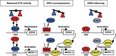 model of the reciprocal regulation of ezh2 and nkx3 1 b open imodel of the reciprocal regulation of ezh2 and nkx3 1 by competing ets factors