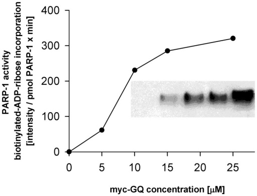 In vitro effect of wild type h c-myc GQ structure on the enzymatic activity of h PARP-1.PARP-1 (1 pmol) was incubated with 6-biotin-17-NAD (75 µM) in the presence of various concentrations of c-myc GQ oligonucleotides for 10 minutes at 23°C. At the end of incubation an equal volume of Laemmli sample buffer was admixed, boiled samples were electrophoresed (10% SDS-PAGE), and transblotted onto nitrocellulose sheet and the aspecific binding sites were blocked by incubating the blot in a solution containing 3% fat free milk dissolved in PBS. This was followed by an incubation of the blot with HPO conjugated streptavidine (1 µg/ml) for an hour. Bound biotin-ADP-ribose was detected by ECL. The fluorogram shown in the insert (c-myc GQ concentrations used in the assays are from left to right: 0, 5, 10, 15 and 25 µM). Spot intensities were quantitated using a Bio-Rad gel-analyzer system. Ordinate shows the incorporation of biotin-ADP-ribose in pixel intensity/pmol PARP-1× min units while the applied GQ concentrations are shown on the abscissa. One representative experiment is shown from three independent experiments.