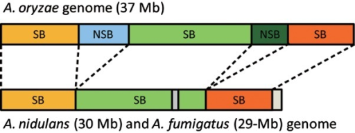 Organizations of SBs and NSBs in the A. oryzae, A. fumigatus, and A. nidulans genomes. SBs, which were identified from syntenic analysis between A. oryzae, A. fumigatus, and A. nidulans,1 are common between the genomes, whereas NSBs in A. oryzae consist of the extra genetic regions from other two smaller genome sequences.