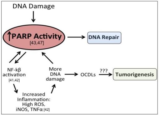 Potential role of elevated PARP-1 in tumorigenesis. After DNA damage, PARP-1 activates DNA repair. However, PARP-1 also acts a co-activator of NFkB signaling, which can propogate inflammatory signaling and lead to more DNA damage, including the formation of oxidatively-clustered DNA lesions (OCDLs). The formation of OCDLs have been shown to be elevated in numerous tumor types. PARP-1 activity could potentially be beneficial or harmful in the repair of ROS-induced DNA lesions.