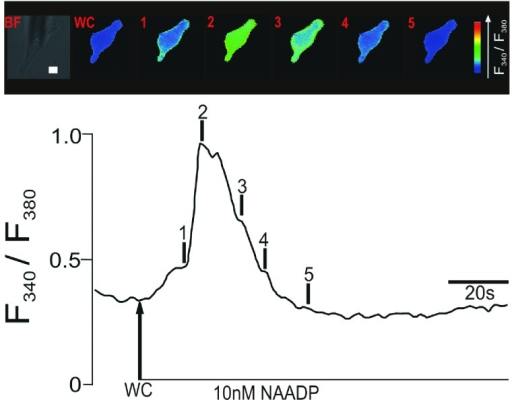 Upper panel shows a series of pseudocolour images of the Fura-2 fluorescence ratio (F340/F380) recorded in an isolated pulmonary artery smooth muscle cell during intracellular dialysis of 10 nM NAADP. Note the spatially localized 'Ca2+ burst' (time point 1). Lower panel shows the record of the Fura-2 fluorescence ratio against time corresponding to the upper panel of pseudocolours images; note the discrete shoulder in the rising phase of the F340/F380 ratio that corresponds to the initial 'Ca2+ burst'. Scale bar: 10μm.