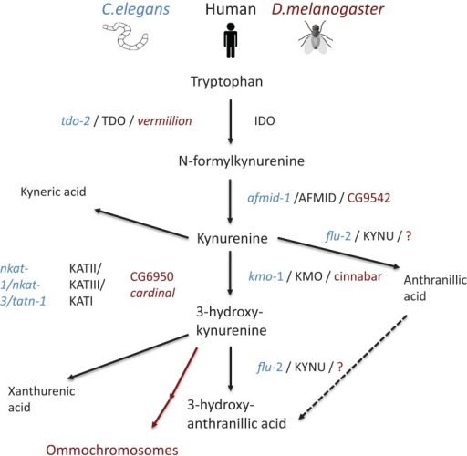 Schematic representation of the kynurenine pathway in human beings (mammal), C. elegans, and D. melanogaster. Pathway tree demonstrates differences between mammalian and invertebrate tryptophan catabolism. Mammalian enzymes are depicted in black, C. elegans enzymes in blue, and D. melanogaster in red. Modified from Ref. (89)
