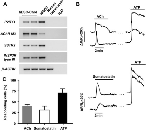 Agonists induce Ca2+ increase in hESC-Chol. (A) RT-PCR analysis of gene expression of receptors involved in intracellular Ca2+ signaling: P2RY1, AChR M3, SSTR2, INSP3R type III. (B,C) Fura-2-loaded hESC-Chol were stimulated either with acetylcholine (ACh, 1 μM), somatostatin (1 nM), or ATP (30 μM) for the times indicated by the horizontal bars. Traces have been shifted arbitrarily along the y-axis for clarity. For technical convenience, traces were interrupted during the washes (each gap lasted 5 minutes). The traces shown are representative of the Ca2+ signal observed in the presence of these different agonists in responding cells in four independent experiments. (D) Summary of the Ca2+ induction data (mean ± SEM).