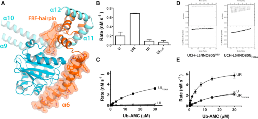 The FRF Hairpin Drives UCH-L5 Inhibition(A) INO80GDEU differs from RPN13DEU mainly in the FRF hairpin and helix α6 (orange surfaces).(B) Helix α6 of INO80GDEU is dispensable for inhibition in Ub-AMC assays. Error bars, SD.(C) Inhibition is completely lost in the INO80GDEU F100A mutant (UIF100A) on Ub-AMC. Error bars, SD.(D) Mutant complex F100A gains Ub-GlySerThr-binding ability compared to WT INO80GDEU complex (from Figure 3A) in ITC.(E) Insertion of the FRF hairpin in RPN13DEUchimera abolishes the activation effect of WT RPN13DEU on UCH-L5 (UR and U from Figure 1B). Error bars, SD. See also Figure S3 and Tables S1–S3.