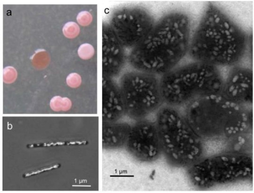 Colonies (a) and cells of Halobacterium (Hbt.) salinarum producing gas vesicles (b,c). (a) Colonies on solid media grown for one week at 40 °C and three weeks at room temperature. Vesicle (Vac+) cells form pink white colonies, whereas colonies of Vac− mutants are red and transparent. (b) Cells grown in liquid media observed by phase-contrast light microscopy. (c) Cells of a Vac+ colony investigated by transmission electron microscopy. The pleomorphic shape of the cells grown for three months on solid media differs from the rod-shaped cells seen in liquid culture.